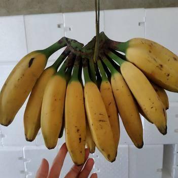 土芭蕉 酸甜大芭蕉 牛角蕉 九斤装包邮 果园直销 一手货源 一件代发