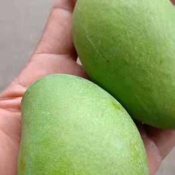 臺農芒果三級果大量供應