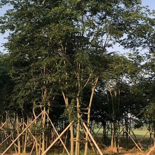湖南省益阳市资阳区 50--75公分五杆丛生朴树大量出售