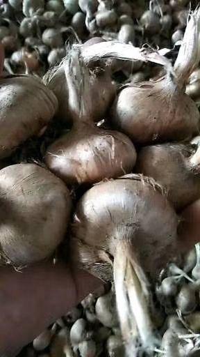 河南省周口市郸城县 藏红花种球出售,可买现货,也可去地里现挖