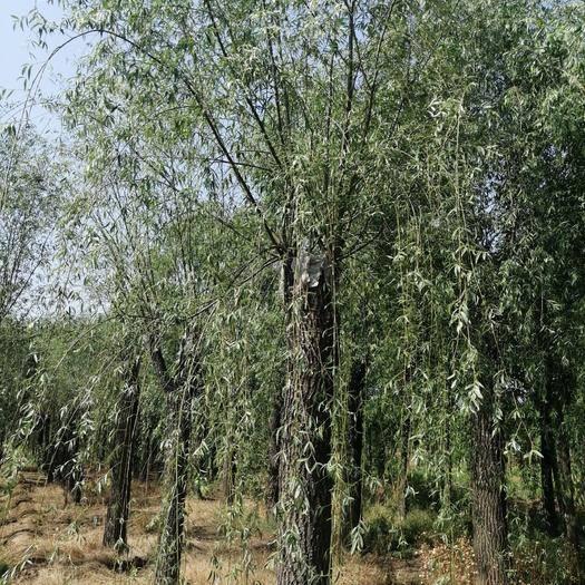 山东省泰安市泰山区 垂柳,树型优美,漂亮,宜管理
