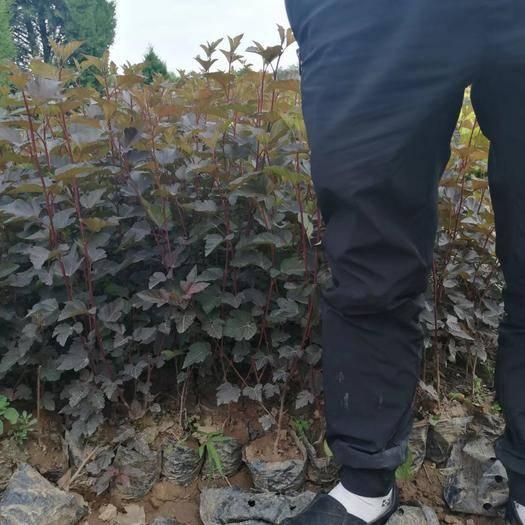 陕西省西安市周至县枫香苗 紫叶风箱果