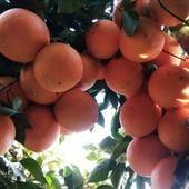 纽荷尔脐橙苗 根系发达,健康壮苗,正品行货