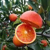 血橙苗 正品行货,根好苗壮,提供技术