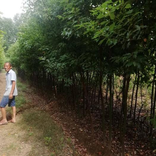 河南省南陽市鎮平縣 3之25公分的香樟樹低價出售