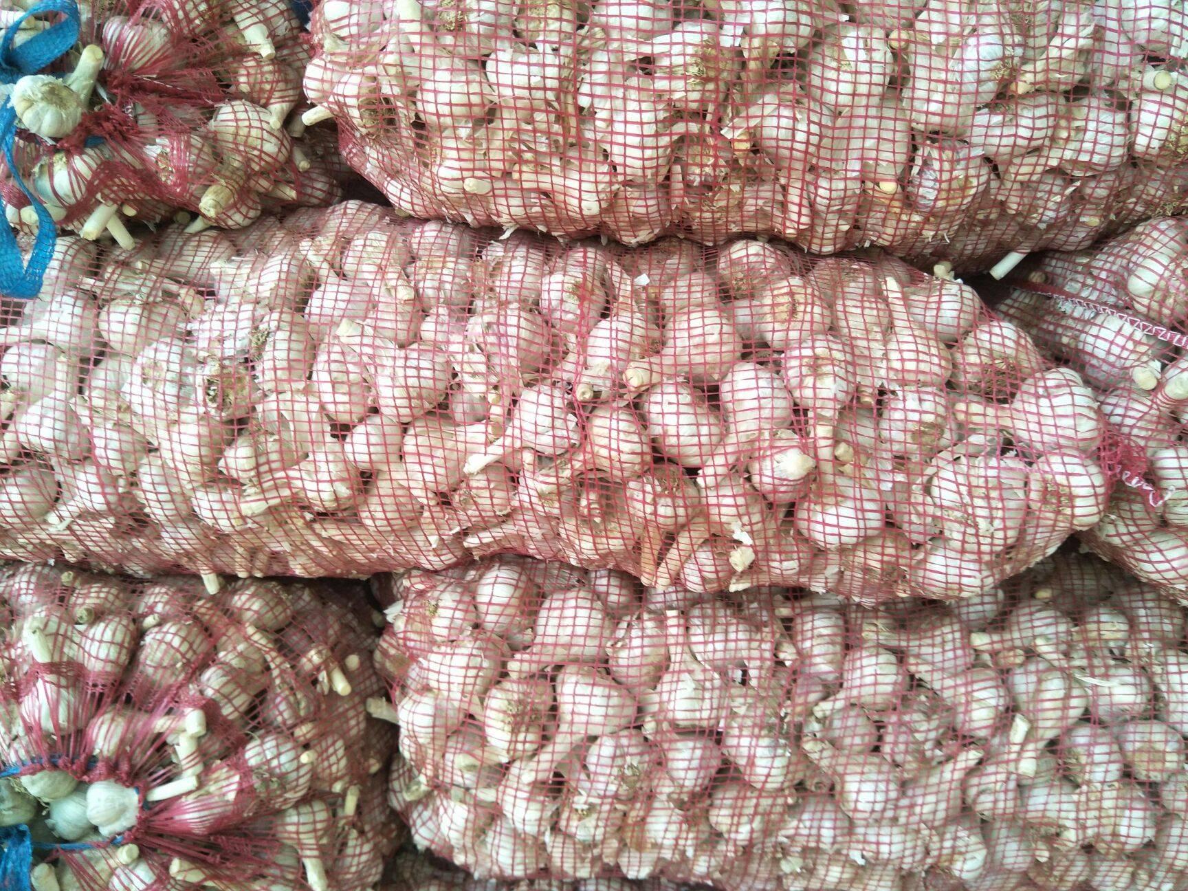 [二水早大蒜批发]二水早大蒜 大红皮价格1.2元/斤