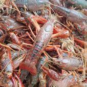 小龙虾,龙虾,红龙虾,青龙虾,