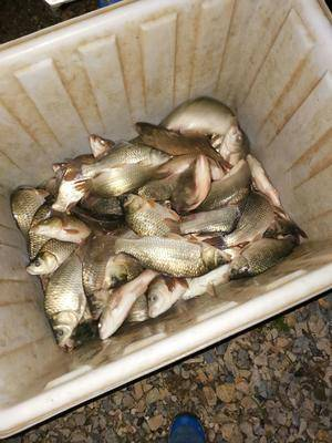 湖北省荆门市钟祥市湘云鲫 钓场出来的二手鱼,可上上市场,可放到其他钓场