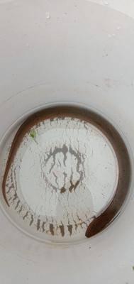 陕西省汉中市城固县 野生黄鳝