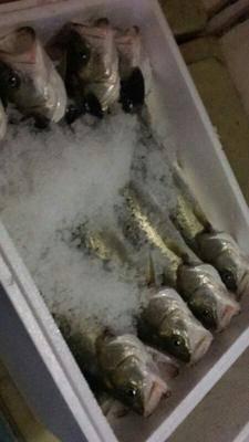 福建省宁德市蕉城区 无限量供应淡水鲈鱼,货好价廉