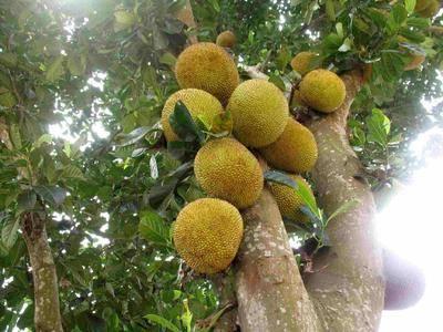 广西壮族自治区玉林市博白县 广西菠萝蜜