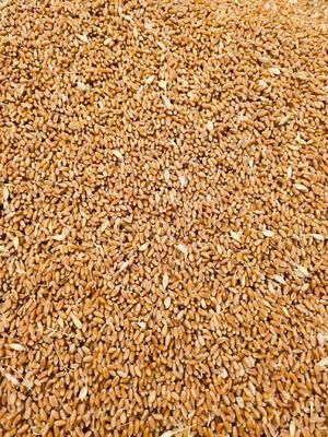 安徽省阜阳市临泉县普通小麦 2019年普麦雨前麦,容重780之820.水份12.5.13