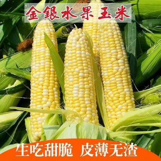 江西省宜春市樟樹市 金銀雙色玉米種子 黃加白雜交水果玉米種子超甜鮮嫩 南北均可