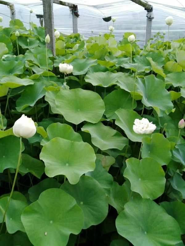 盆栽荷花苗有哪些种植技巧