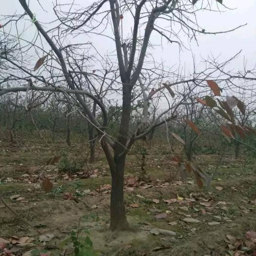 安徽省宿州市砀山县柿子树接穗 柿子树。