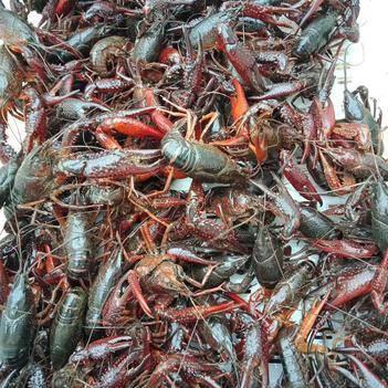 高等規格精品小龍蝦56789錢,塘口養殖,現撈現發