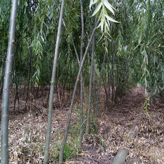 陕西省渭南市大荔县 垂柳2.8~3公分产地直销,保质保量,可随时实地考察上货