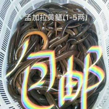 野生孟加拉黄鳝1两-5两