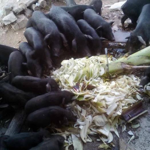云南省玉溪市新平彝族傣族自治縣黑香豬 放養的