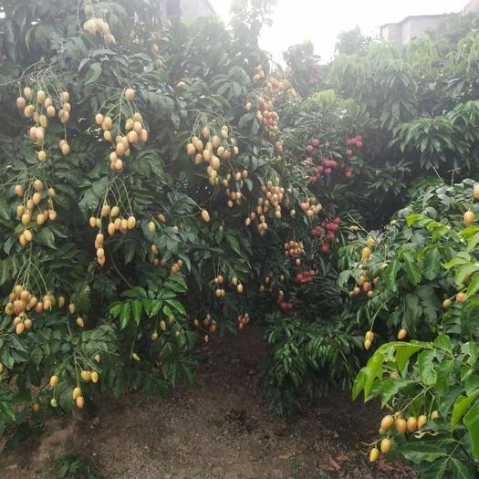 廣西壯族自治區玉林市北流市 雞心黃皮果