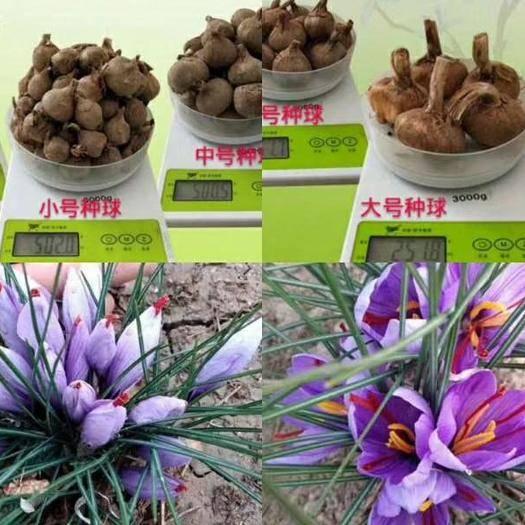 河南省郑州市管城回族区藏红花种球