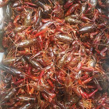 清水小龍蝦 青蝦紅蝦,產地直銷,規格標準。