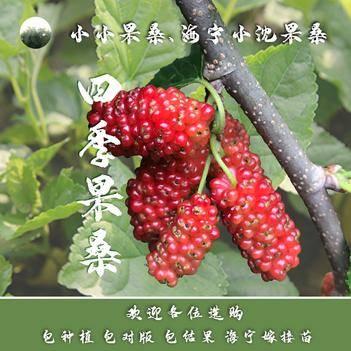 四季大果桑苗 分46C和72C兩種 高產量 南方種植