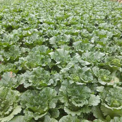 貴州省畢節市威寧彝族回族苗族自治縣青麻葉大白菜 自己種的,價錢和隨市場價