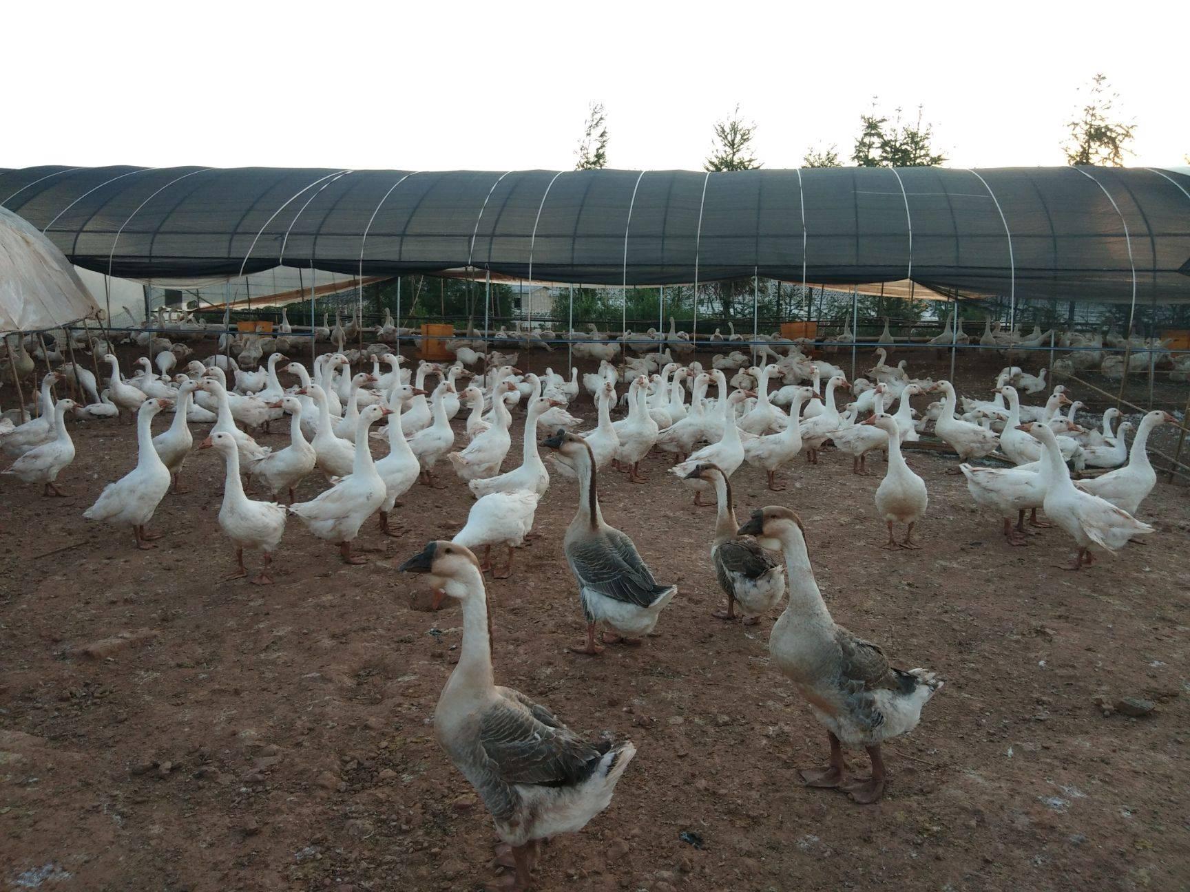 [肉鹅批发] 常年供应各种优质品种的白鹅价格22元/公斤