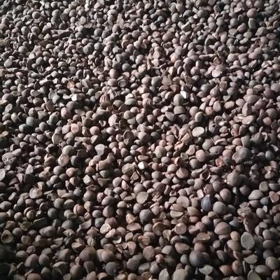 湖南省永州市道縣 野生山茶籽