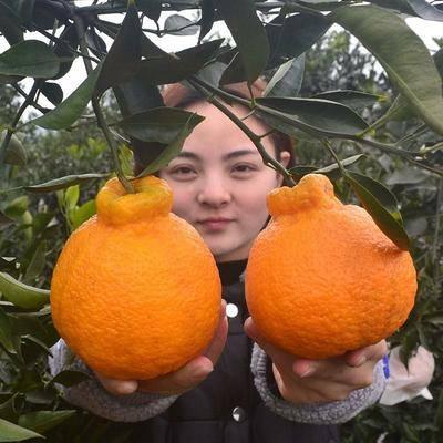 廣西壯族自治區欽州市靈山縣不知火苗 嫁接丑橘丑八怪橘子苗不知火丑桔丑柑樹南北地栽果樹