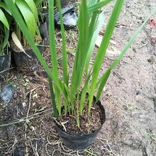 广东省佛山市三水区 中东海枣苗棕榈科观叶植物园林绿化树