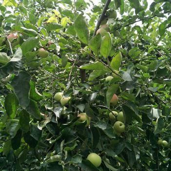 華丹蘋果 美,色,味,俱全