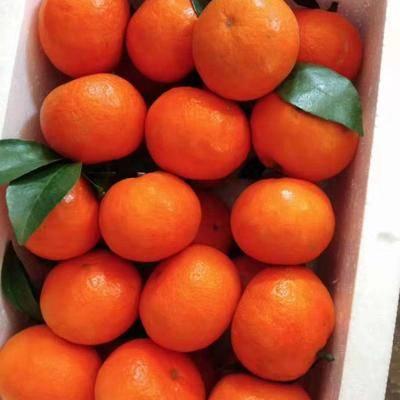四川省成都市簡陽市早熟沙糖桔苗 早熟砂糖橘苗