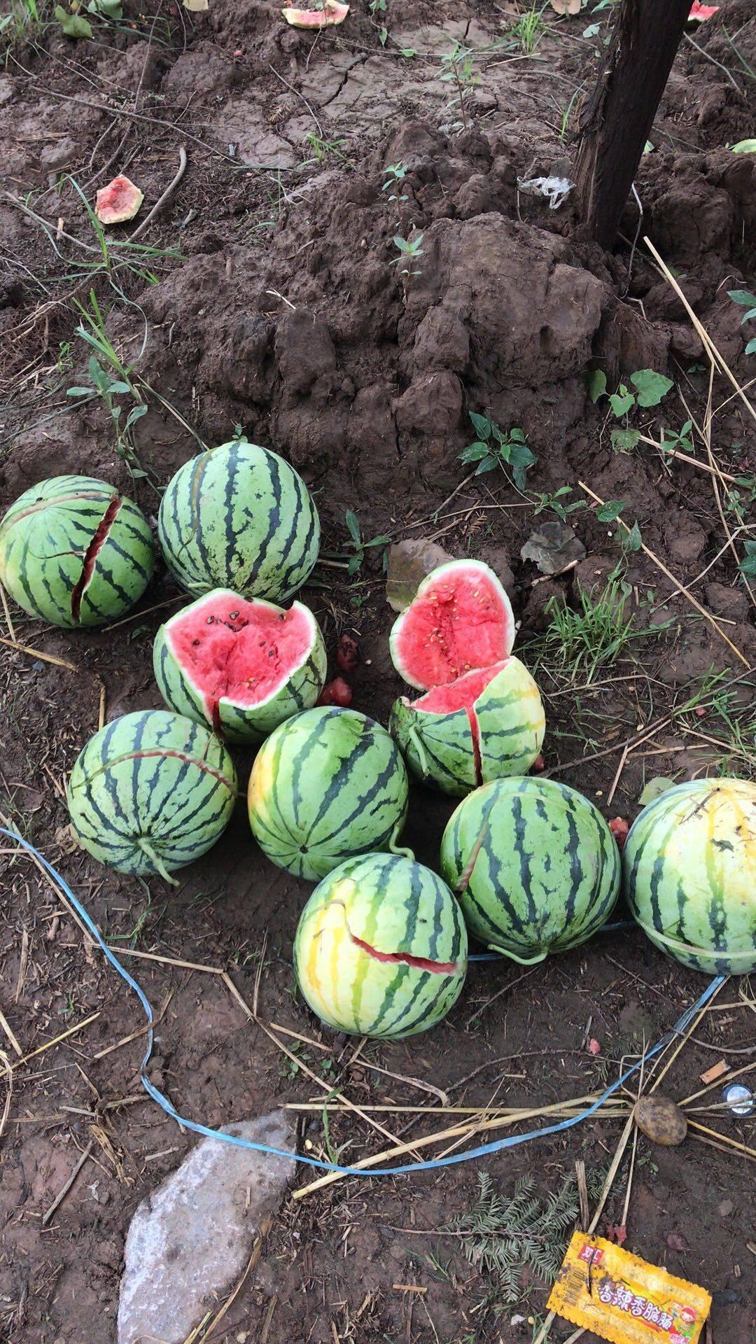 8424京欣露天少籽西瓜,瓜甜皮薄,沙土种植