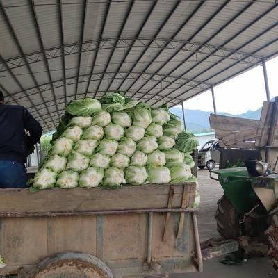 陜西省寶雞市太白縣高白大白菜 太白無公害綠色蔬菜
