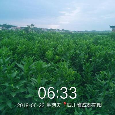 四川省成都市簡陽市沃柑苗 嫁接苗 1~1.5米