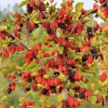 四季大果桑樹苗,可盆栽可地栽,果大味甜產量高。