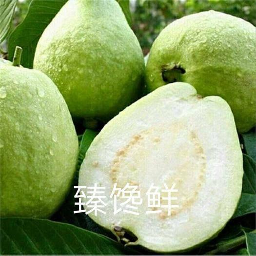 福建省漳州市长泰县白心番石榴 产地直供白心芭乐