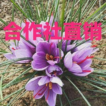 藏红花种球 优质藏红花西红花种球种子合作社直销批发零售全程技术指导