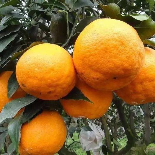 四川省成都市簡陽市耙耙柑桔苗 2公分香橙頭粑粑柑假植苗