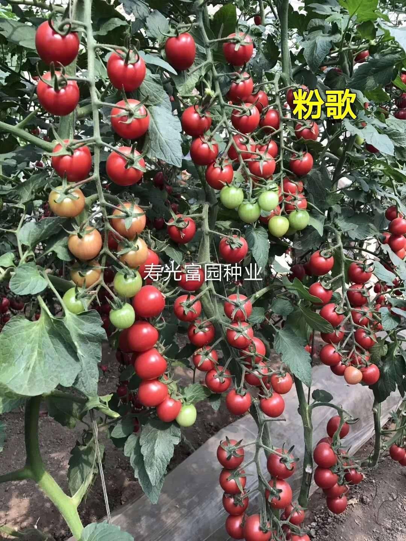 [樱桃番茄种子批发]樱桃番茄种子 ≥98% 杂交种 ≥85%价格360元/包