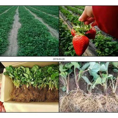 山東省泰安市岱岳區 草莓苗批發基地  草莓苗品種齊全 脫毒二代草莓苗  根系發達