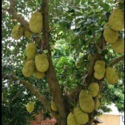 廣西壯族自治區欽州市靈山縣 馬來西亞一號菠蘿蜜苗
