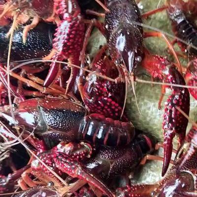 安徽省合肥市巢湖市 安徽巢湖小龍蝦大量上市價格便宜