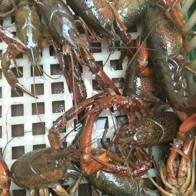 江蘇省泰州市興化市興化小龍蝦 興化蟹塘龍蝦