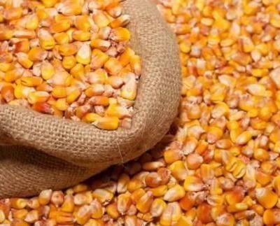 山東省臨沂市沂南縣 玉米干糧