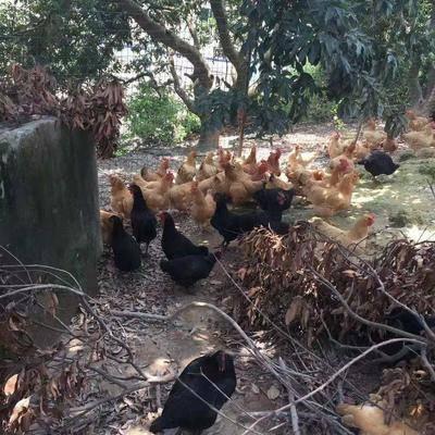 重慶奉節縣 全散養土雞,無任何添加飼料,野生態養生。