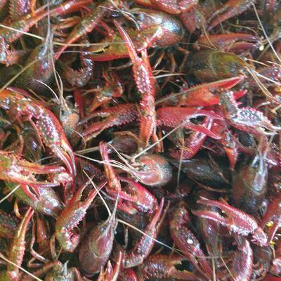 湖北省潛江市潛江市紅殼小龍蝦 小紅234規格。可能做蝦苗