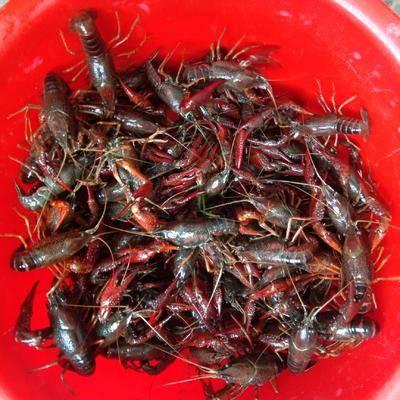 河南省信陽市新縣安徽小龍蝦 專業合作社養殖,大量銷售。